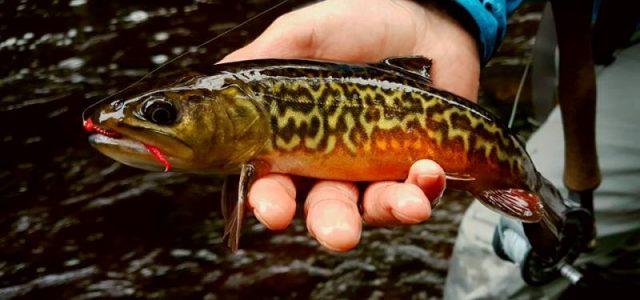 Форелевая рыбалка нахлыстом в Латвии