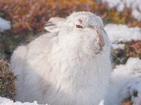 Ход беляка под гончими: зайцы совершенствуют свое мастерство