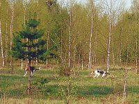 С гончими весной: о весенней нагонке