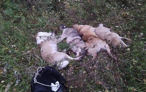 Минприроды проверит обстоятельства убийства четырех лаек экс-чиновником