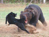 Селигер – 2019: прошли состязания лаек по медведю