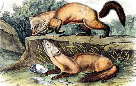 Охота с лайкой: по следам куницы