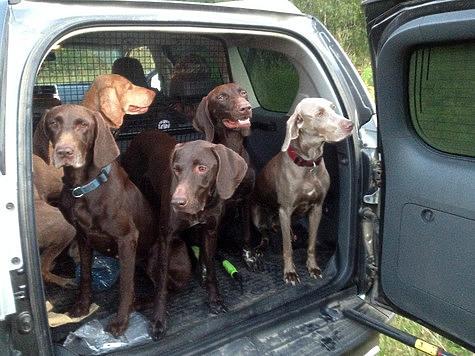Охотничьи собаки и внутренняя конкуренция