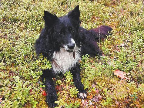 Беспородные собаки могут быть пригодны к охоте