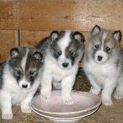 Национальная порода охотничьих собак России